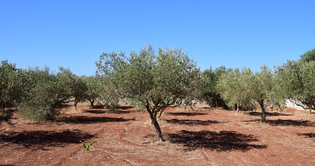Ελαιόδενδρα  Συγκρότηση Ομάδας Εργασίας Δακοκτονίας από την Π.Στ.Ε. olive trees 2660028 1280