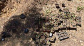 Εντοπίστηκε φυτεία δενδρυλλίων κάνναβης στη Μεσσηνία  Εντοπίστηκε φυτεία δενδρυλλίων κάνναβης στη Μεσσηνία                                                                                                     275x150