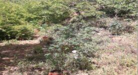Εντοπισμός δενδρυλλίων κάνναβης στη λίμνη Πλαστήρα  Εντοπισμός δενδρυλλίων κάνναβης στη λίμνη Πλαστήρα                                                                                                 275x150