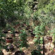 Σύλληψη στο Ρέθυμνο για καλλιέργεια κάνναβης  Σύλληψη στο Ρέθυμνο για καλλιέργεια κάνναβης                                                                                     180x180