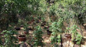 Σύλληψη στο Ρέθυμνο για καλλιέργεια κάνναβης  Σύλληψη στο Ρέθυμνο για καλλιέργεια κάνναβης                                                                                     275x150