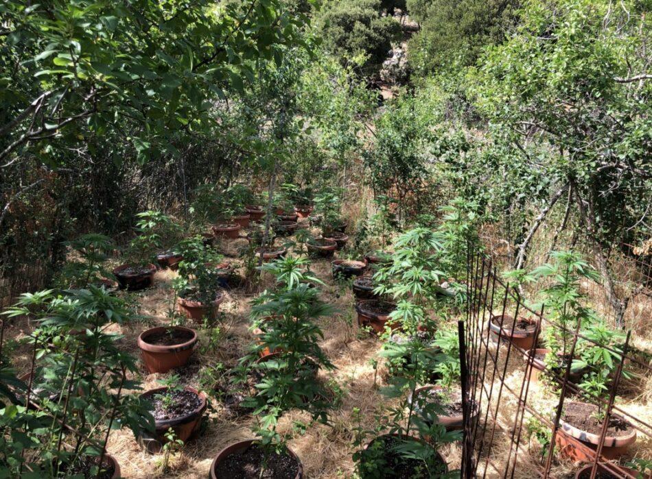Σύλληψη στο Ρέθυμνο για καλλιέργεια κάνναβης  Σύλληψη στο Ρέθυμνο για καλλιέργεια κάνναβης                                                                                     950x699