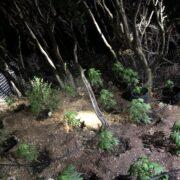 Σύλληψη καλλιεργητή ναρκωτικών στην Κρήτη  Σύλληψη καλλιεργητή ναρκωτικών στην Κρήτη 05062021kritikannavi002 180x180