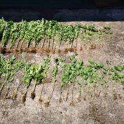 Συνελήφθη καλλιεργητής ναρκωτικών στο Μεσολόγγι  Συνελήφθη καλλιεργητής ναρκωτικών στο Μεσολόγγι 19062021mesolnark001 180x180