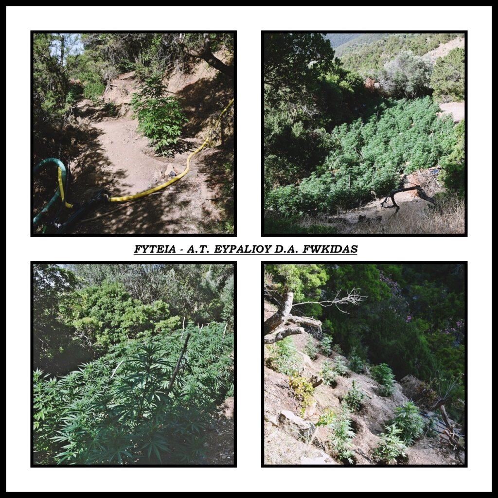 Φυτεία με 1.300 δενδρύλλια κάνναβης στην Καλλιθέα Φωκίδας 24062021megalifyteia003 1024x1024