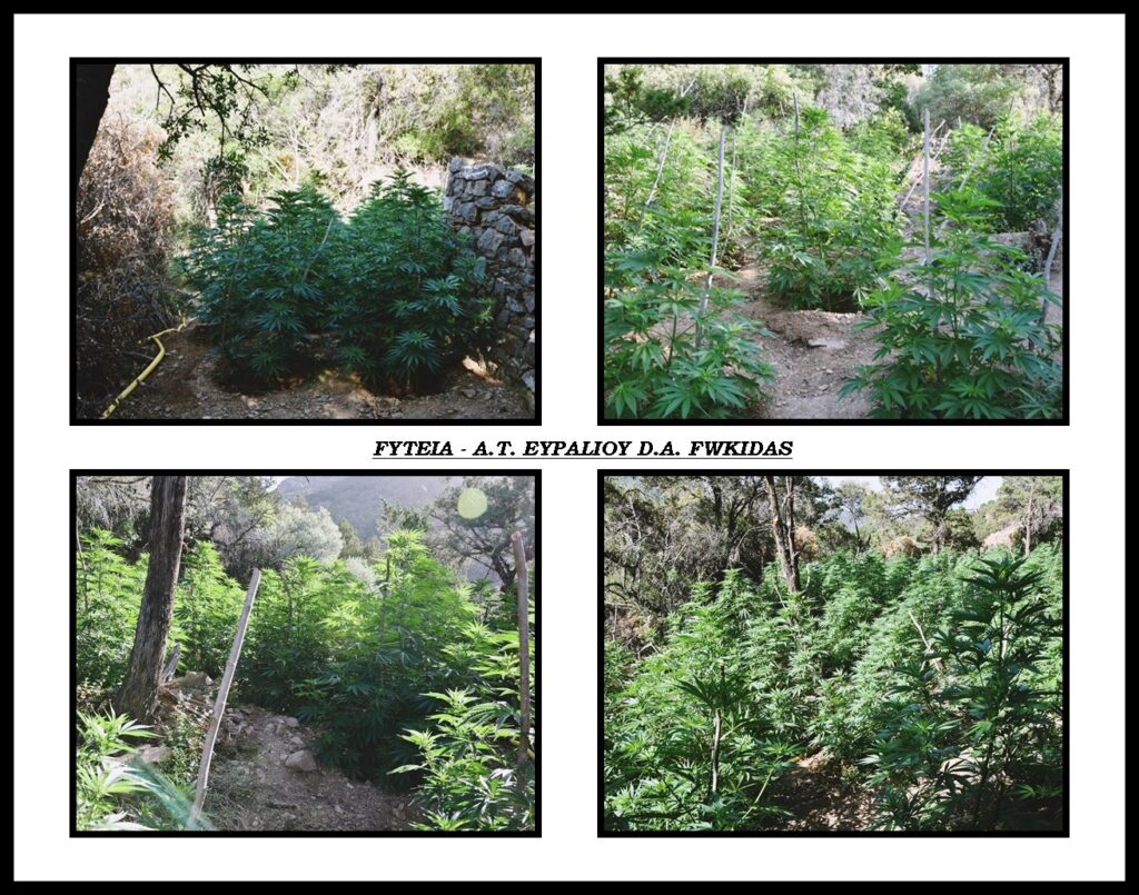 Φυτεία με 1.300 δενδρύλλια κάνναβης στην Καλλιθέα Φωκίδας 24062021megalifyteia004 1024x805