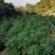 Φυτεία με 1.300 δενδρύλλια κάνναβης στην Καλλιθέα Φωκίδας  Φυτεία με 1.300 δενδρύλλια κάνναβης στην Καλλιθέα Φωκίδας 24062021stereameg1 55x55