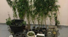 Εντοπίστηκε καλλιέργεια δενδρυλλίων κάνναβης στην Ικαρία  Εντοπίστηκε καλλιέργεια δενδρυλλίων κάνναβης στην Ικαρία                                                                                                             275x150