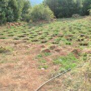 Εντοπίστηκε φυτεία δενδρυλλίων κάνναβης στη Λακωνία  Εντοπίστηκε φυτεία δενδρυλλίων κάνναβης στη Λακωνία                                                                                                   180x180