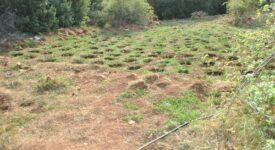 Εντοπίστηκε φυτεία δενδρυλλίων κάνναβης στη Λακωνία  Εντοπίστηκε φυτεία δενδρυλλίων κάνναβης στη Λακωνία                                                                                                   275x150