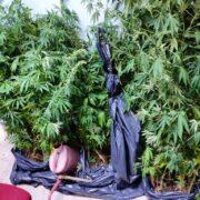 Σύλληψη καλλιεργητή κάνναβης στην Ξάνθη  Σύλληψη καλλιεργητή κάνναβης στην Ξάνθη                                                                            180x180
