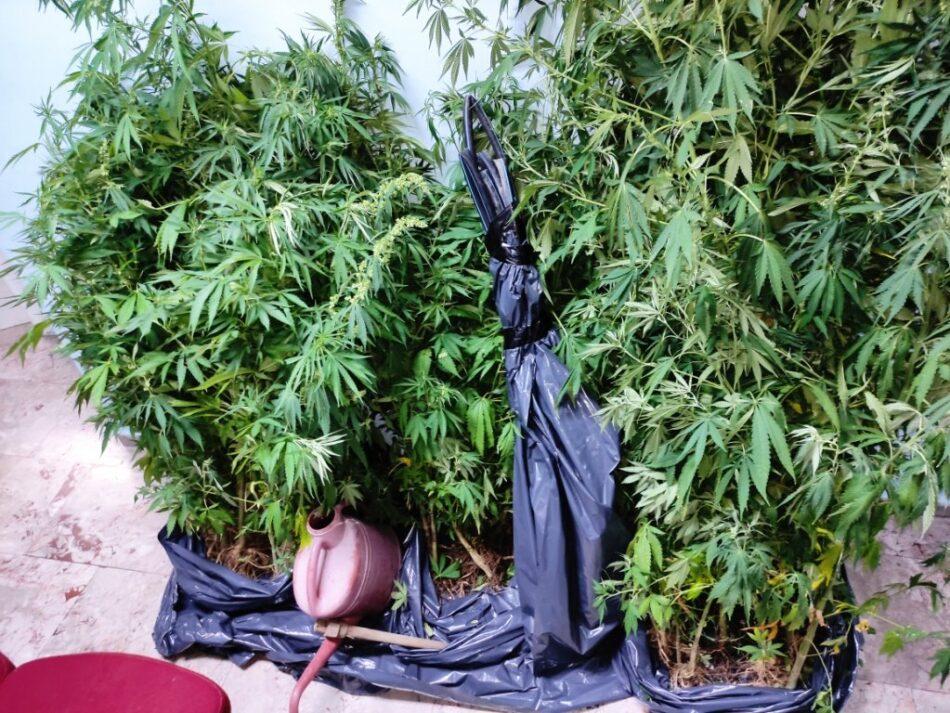 Σύλληψη καλλιεργητή κάνναβης στην Ξάνθη  Σύλληψη καλλιεργητή κάνναβης στην Ξάνθη                                                                            950x713