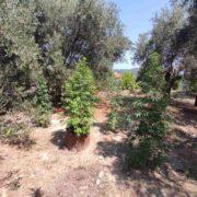 Σύλληψη καλλιεργητή ναρκωτικών στην Κέρκυρα  Σύλληψη καλλιεργητή ναρκωτικών στην Κέρκυρα                                                                                    180x180