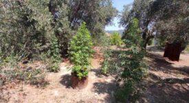 Σύλληψη καλλιεργητή ναρκωτικών στην Κέρκυρα  Σύλληψη καλλιεργητή ναρκωτικών στην Κέρκυρα                                                                                    275x150