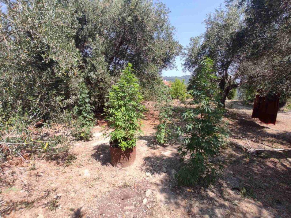 Σύλληψη καλλιεργητή ναρκωτικών στην Κέρκυρα  Σύλληψη καλλιεργητή ναρκωτικών στην Κέρκυρα                                                                                    950x713