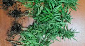 Σύλληψη καλλιεργητή ναρκωτικών στη Χίο  Σύλληψη καλλιεργητή ναρκωτικών στη Χίο                                                                          275x150
