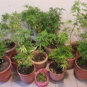 Σύλληψη καλλιεργητή ναρκωτικών στο Πλωμάρι  Σύλληψη καλλιεργητή ναρκωτικών στο Πλωμάρι                                                                                  180x180
