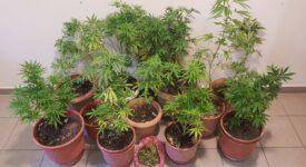 Σύλληψη καλλιεργητή ναρκωτικών στο Πλωμάρι  Σύλληψη καλλιεργητή ναρκωτικών στο Πλωμάρι                                                                                  275x150