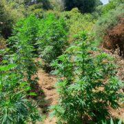 Σύλληψη στην Κέρκυρα για καλλιέργεια κάνναβης  Σύλληψη στην Κέρκυρα για καλλιέργεια κάνναβης                                                                                       180x180