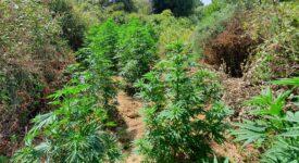 Σύλληψη στην Κέρκυρα για καλλιέργεια κάνναβης  Σύλληψη στην Κέρκυρα για καλλιέργεια κάνναβης                                                                                       275x150
