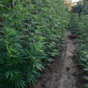 Σύλληψη καλλιεργητή ναρκωτικών στο Αγρίνιο  Σύλληψη καλλιεργητή ναρκωτικών στο Αγρίνιο 13072021narkdytagrinio003 180x180