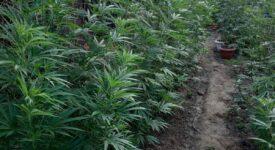 Σύλληψη καλλιεργητή ναρκωτικών στο Αγρίνιο  Σύλληψη καλλιεργητή ναρκωτικών στο Αγρίνιο 13072021narkdytagrinio003 275x150