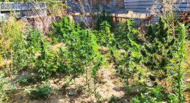 Συνελήφθη καλλιεργητής ναρκωτικών στη Θεσσαλονίκη 20072021kannavikentrmakedonia002 275x150
