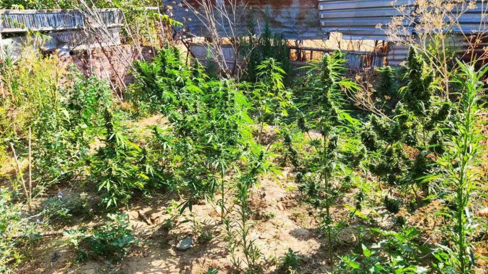 Συνελήφθη καλλιεργητής ναρκωτικών στη Θεσσαλονίκη 20072021kannavikentrmakedonia002 950x534