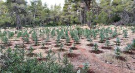 Εντοπίσθηκε φυτεία δενδρυλλίων κάνναβης στα Βίλια Αττικής                                                                                                              275x150