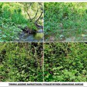 Εντοπισμός φυτείας με 904 δενδρύλλια κάνναβης στη Φθιώτιδα                                          904                                                               180x180