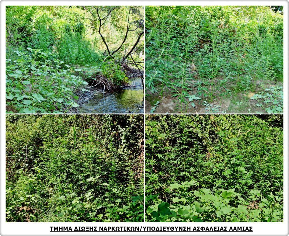 Εντοπισμός φυτείας με 904 δενδρύλλια κάνναβης στη Φθιώτιδα                                          904                                                               950x776