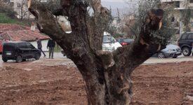 Επτά αιωνόβιες ελιές μεταφυτεύονται στο Δήμο Θηβαίων                                                                                                    275x150