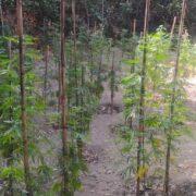 Εντοπίστηκε φυτεία δενδρυλλίων κάνναβης στη Μεσσηνία                                                       180x180