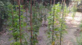 Εντοπίστηκε φυτεία δενδρυλλίων κάνναβης στη Μεσσηνία                                                       275x150