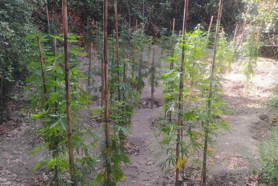 Εντοπίστηκε φυτεία δενδρυλλίων κάνναβης στη Μεσσηνία                                                       950x635