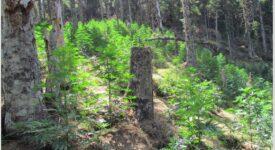 Φυτεία κάνναβης  Φυτεία με εκατοντάδες δενδρύλλια κάνναβης σε δύσβατη δασική περιοχή της Φωκίδας 06082021fyteia001 275x150