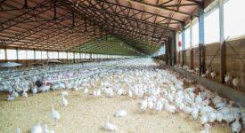 Και οι πτηνοτροφικές μονάδες εντάσσονται στον Αναπτυξιακό chicken 4689310 640 275x150