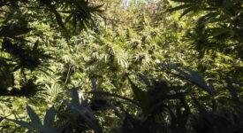 Εντοπίστηκε καλλιέργεια δενδρυλλίων κάνναβης στο Ρέθυμνο                                                                                                             275x150
