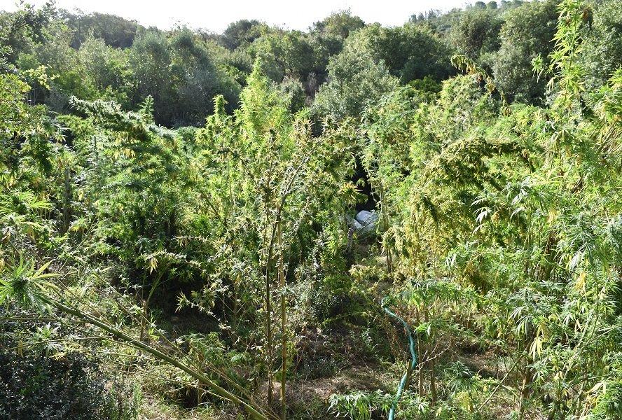 Εντοπίστηκε φυτεία δενδρυλλίων κάνναβης στη Μεσσηνία 20092021pel002