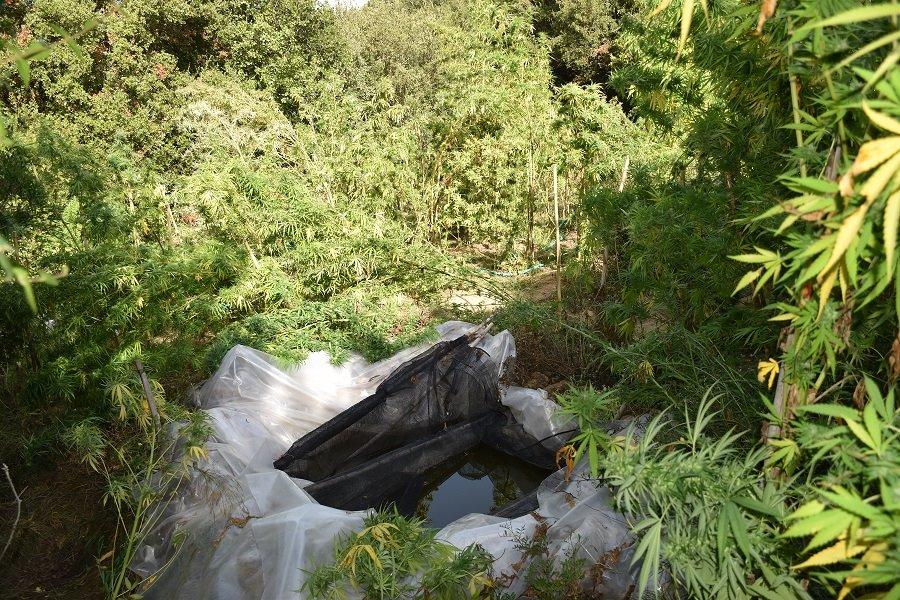 Εντοπίστηκε φυτεία δενδρυλλίων κάνναβης στη Μεσσηνία 20092021pel003