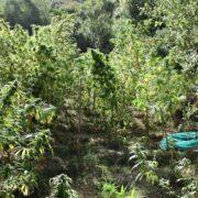 Εντοπίστηκε φυτεία δενδρυλλίων κάνναβης στη Μεσσηνία 20092021pel004 180x180