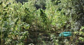 Εντοπίστηκε φυτεία δενδρυλλίων κάνναβης στη Μεσσηνία 20092021pel004 275x150