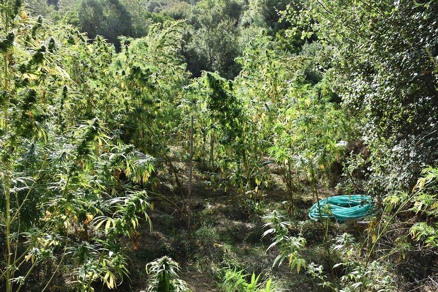 Εντοπίστηκε φυτεία δενδρυλλίων κάνναβης στη Μεσσηνία 20092021pel004