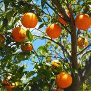 Αφαίρεση βιολογικού σήματος από παραγωγό πορτοκαλιών oranges 1117628 1280 180x180