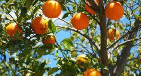 Αφαίρεση βιολογικού σήματος από παραγωγό πορτοκαλιών oranges 1117628 1280 275x150