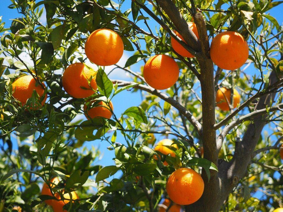 Αφαίρεση βιολογικού σήματος από παραγωγό πορτοκαλιών oranges 1117628 1280 950x713