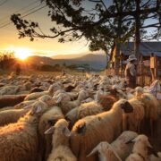 Σε δημόσια διαβούλευση το νομοσχέδιο για τις κτηνοτροφικές εγκαταστάσεις sheep 3023520 1280 180x180