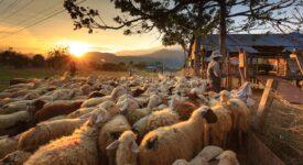 Σε δημόσια διαβούλευση το νομοσχέδιο για τις κτηνοτροφικές εγκαταστάσεις sheep 3023520 1280 275x150