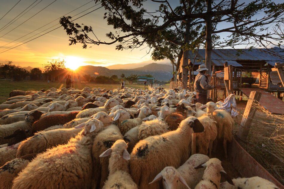 Σε δημόσια διαβούλευση το νομοσχέδιο για τις κτηνοτροφικές εγκαταστάσεις sheep 3023520 1280 950x633