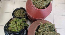 Σύλληψη καλλιεργητή ναρκωτικών στο Κάστρο Κυλλήνης 06102021dendriliahleia006 275x150